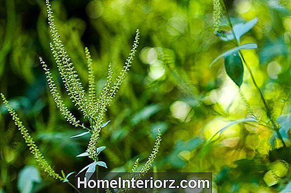 Giant Ragweed, Allergy-Causing Weed Par Excellence