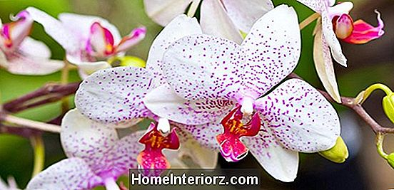 Oncidium Orchids Care and Growing Tips