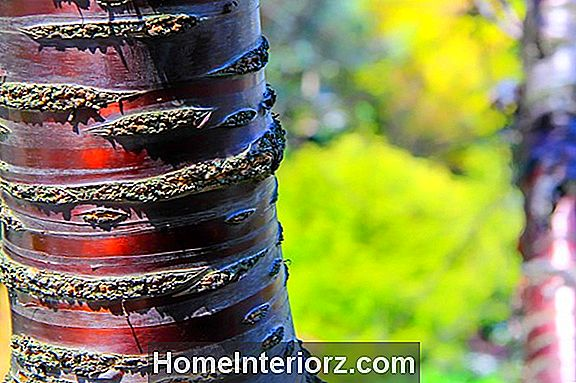 Paperbark Cherry Growing Tips
