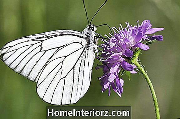 Pincushion Flower, A Butterfly Magnet