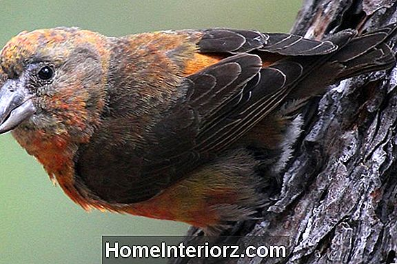 Red Crossbill (Common Crossbill) Profil