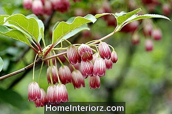 Red Vein Enkianthus växande tips