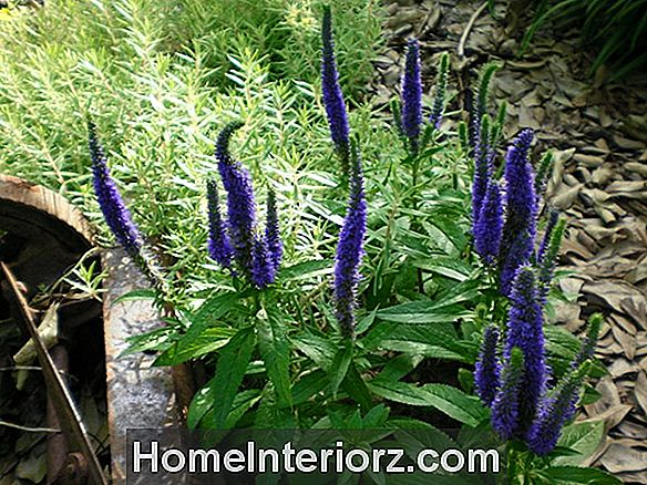 'Royal Candles' Veronica Plants: växande tips