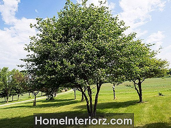 Washington Hawthorn Trees