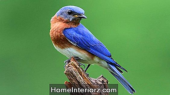 Eastern Bluebird: Vad du borde veta