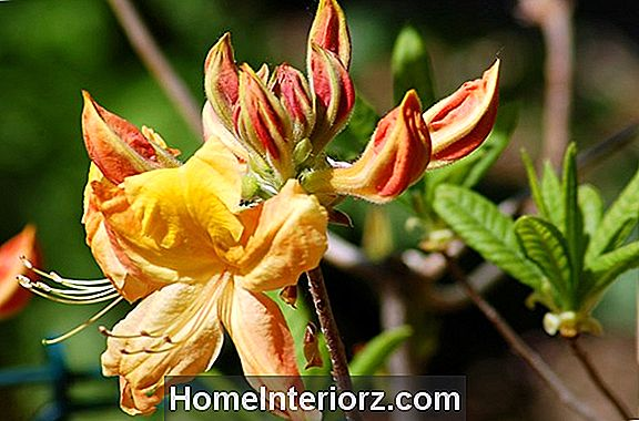Golden Oriole Azalea Bushes
