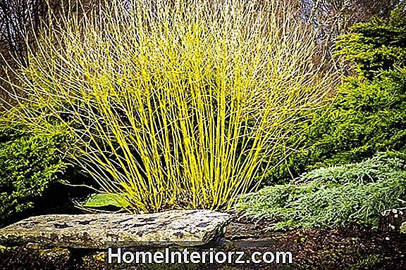 Yellow-Twig Dogwood Buskar
